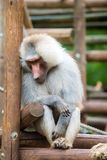 Baboon in zoo royalty free stock image
