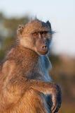 baboonchacma Fotografering för Bildbyråer