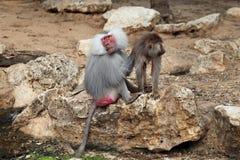 baboonen behandla som ett barn Royaltyfri Fotografi