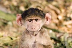 baboonen behandla som ett barn Arkivfoton