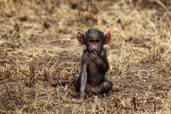 baboonen behandla som ett barn Arkivfoto