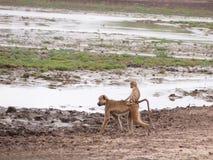 baboonen behandla som ett barn Royaltyfria Foton