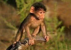 baboonen behandla som ett barn chacma arkivfoton