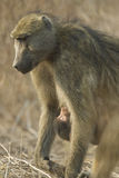 baboonen behandla som ett barn den botswana chacmamodern Arkivbild
