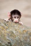 baboonen behandla som ett barn gulliga hamadryas Fotografering för Bildbyråer