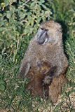baboonen behandla som ett barn matningar henne modern Royaltyfri Bild