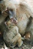 baboonen behandla som ett barn modern Royaltyfri Bild