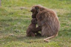 baboonen behandla som ett barn modern Royaltyfri Fotografi
