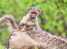 baboonen behandla som ett barn moderridning arkivbilder