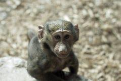 baboonen behandla som ett barn olivgrön Arkivfoto