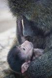 baboonen behandla som ett barn olivgrön Royaltyfri Fotografi