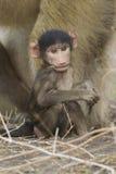 baboonen behandla som ett barn sticken för tugga för den botswana chacmaen Arkivbild