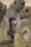 baboonen behandla som ett barn sticken för tugga för den botswana chacmaen Arkivbilder