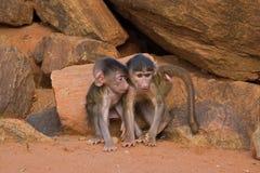 baboonen behandla som ett barn vänner Arkivbilder