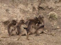 baboongelada Royaltyfri Foto