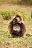 baboongelada Arkivbilder