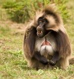 baboongelada Arkivbild