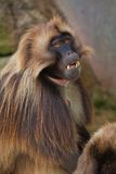 baboongelada Fotografering för Bildbyråer