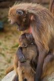 baboongelada Arkivfoto