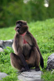 baboongelada Royaltyfri Bild