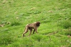 baboongelada Royaltyfria Foton