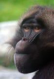 baboongeladamanlig royaltyfria bilder