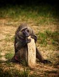 baboongourde Arkivfoto