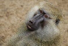 baboonhamadryas Arkivfoto