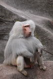 baboonhamadryas Arkivbilder