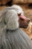 baboonhamadryas Royaltyfri Foto