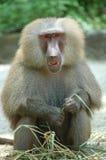 baboonhamadryas Royaltyfri Bild