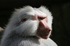 baboonhamadryas Royaltyfria Bilder