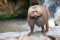 baboonhamadryas Royaltyfri Fotografi