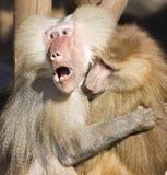 baboonhamadryaspapio Royaltyfri Bild