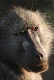 baboonmama Royaltyfri Fotografi