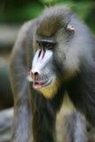 baboonmandrill Royaltyfri Bild