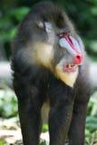 baboonmandrill Royaltyfria Bilder