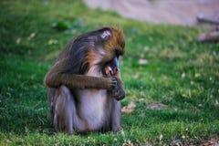 baboonmandrill Arkivbild
