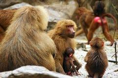 baboonmoder Royaltyfria Foton