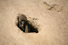 baboonolivgrön Royaltyfri Foto