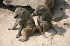 baboonolivgrön Royaltyfria Bilder
