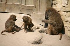 baboonolivgrön Fotografering för Bildbyråer