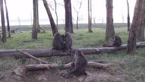 baboons ελιά απόθεμα βίντεο