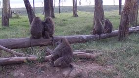 baboons ελιά φιλμ μικρού μήκους