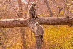 Baboons που διοργανώνουν μια οικογενειακή συζήτηση Στοκ Εικόνα