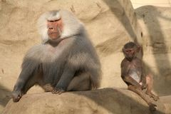 Baboons. Old and young baboon in Warsaw Zoological Garden Royalty Free Stock Image