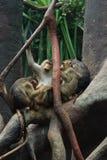 baboons arkivbilder