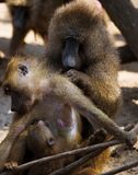 Baboons Royalty Free Stock Photo