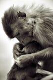 baboons Στοκ Εικόνες