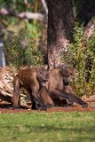 Baboons Royalty Free Stock Photography